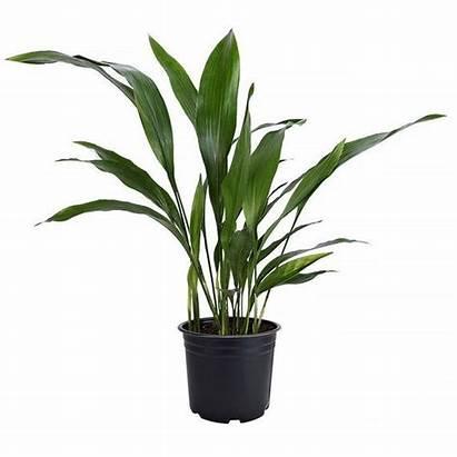 Plant Iron Cast Plants Pot Friendly Pet