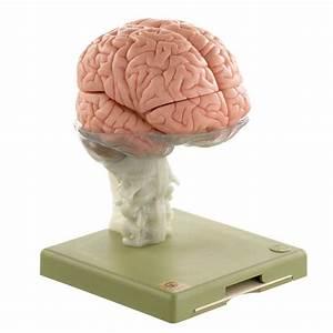 Somso U00ae Human Brain Model  15 Parts