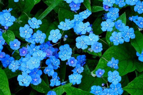 blaue blumen frühling kleine blaue blumen stockfoto bild field dekoration 14719842