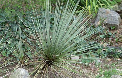 Garten Yucca Kaufen by Yucca Glauca Blaugr 252 Ne Palmlilie Pflanzenreich