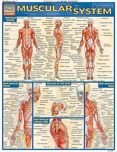 10 Best Muscle Skeletal Images On Pinterest