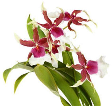 comment tailler les orchidées pour qu elles refleurissent conseil orchid 233 e euroseconde