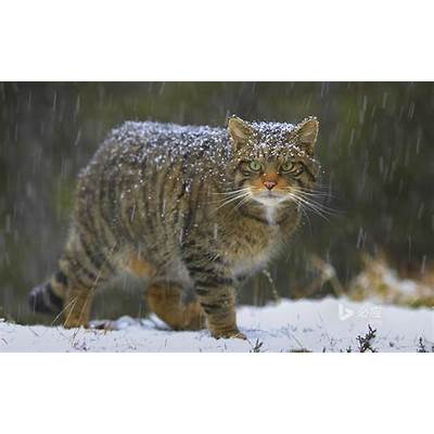 Could hybrid Wildcats be the key to saving Scottish
