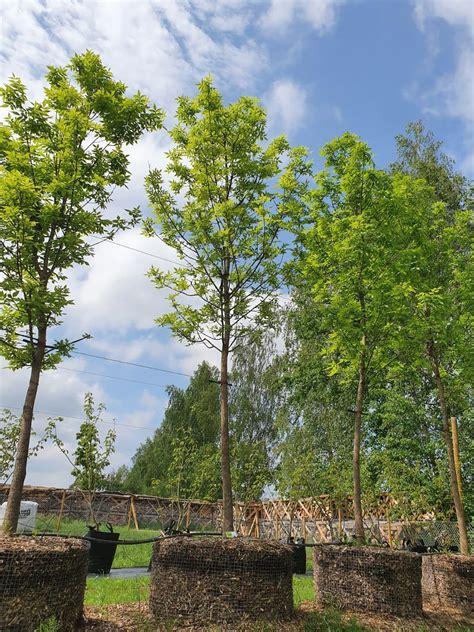 Pensilvānijas osis / Fraxinus pennsylvanica - Have a Tree