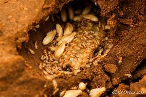 The termite queen - a story of survival - Africa Geographic