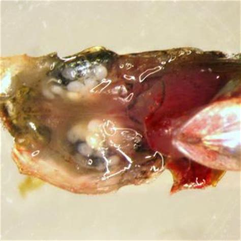 diplostomum spathaceum fish pathogens