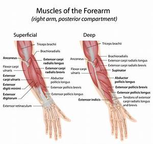 Diagram Extensor Tendons Forearm