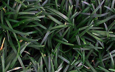 Buy Ophiopogon Japonicus 'nana'