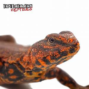 Red Niger Uromastyxs For Sale - Underground Reptiles
