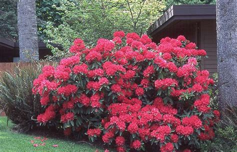 how to plant a rhododendron shrub rhododendron the honourable jean marie de montague landscape plants oregon state university