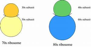What Is The Labelled Diagram Of A Ribosome Also Tell Me