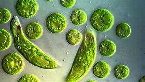 Chlamydomonas  U0026 Euglena Viridis