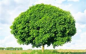 Kugelahorn (Acer platanoides) Pflanzen, Pflege und Schneiden