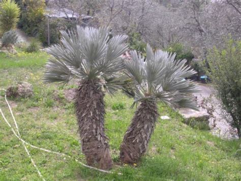 winterharte palmen bis 25 grad italia spezial