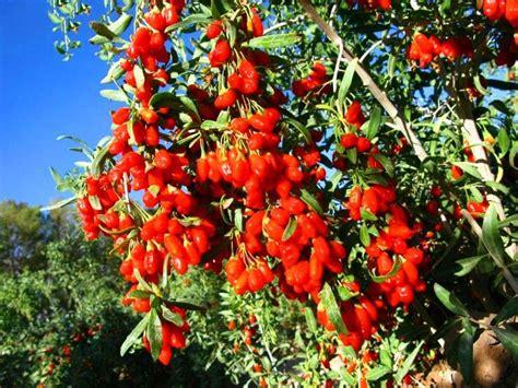 pianta di goji in vaso come coltivare il goji soluzioni di casa