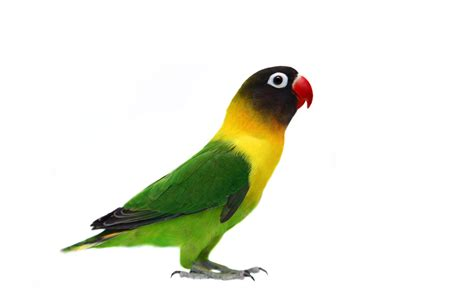 loveyourparrot com lovebirds