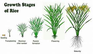 Stages Of The Rice Plant
