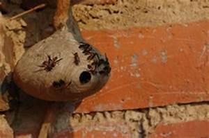Wespen Im Haus : wespennest entfernen der richtige umgang mit wespen ~ Lizthompson.info Haus und Dekorationen