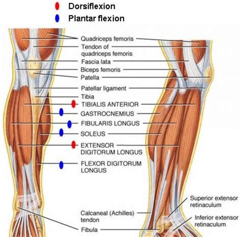 These collagen fibres are arranged parallel to each other and are known as fascicles. Leg Ligaments Diagram - Ankle Fractures Broken Ankle ...