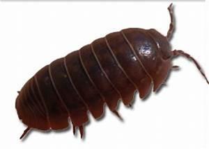 Insecte Qui Mange Le Bois : liminer les cloportes qui infestent la maison avant la ~ Farleysfitness.com Idées de Décoration