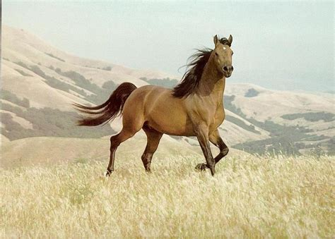 horse horses brown wallpapers wild running loving mustang domestic single equus animal caballus fanpop stallion american bison tame ones much