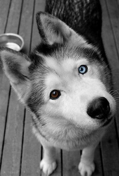 blue eye brown eye husky
