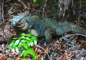 File:Blue Iguana on Wilderness Trail at QEII Botanic Park ...