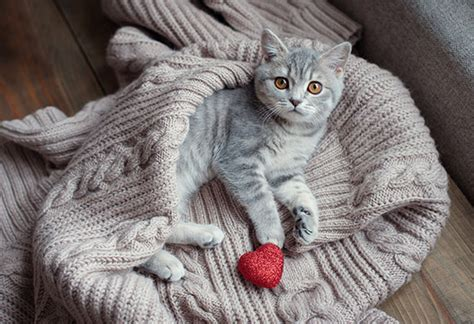 valentines  cats petmd
