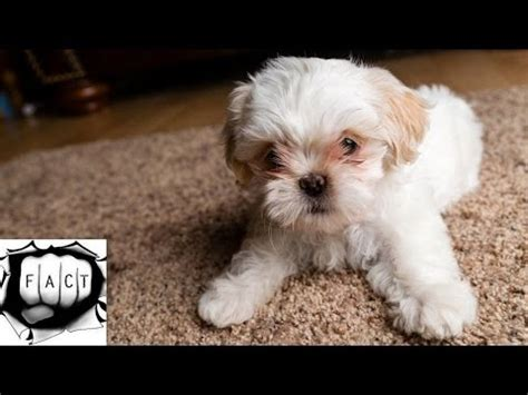 top  kid friendly small dogs  dog breeds  ch