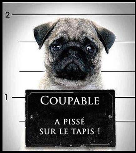 images le petit chien coupable images dr 244 les blague en image sur humour blague