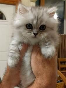Cute Munchkin Kitten | www.pixshark.com - Images Galleries ...