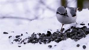 Graines Oiseaux Du Ciel : comment nourrir les oiseaux du ciel youtube ~ Melissatoandfro.com Idées de Décoration