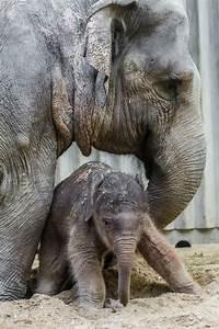 Image Gallery elephant birth