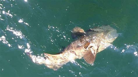 goliath grouper bradenton protected