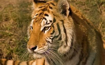 Tiger Tigre Tigres Imagenes Pantalla Tygrys Fondo