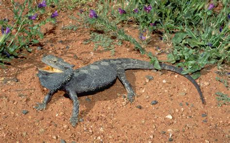If you're looking for the best bearded dragon wallpaper then wallpapertag is the place to be. Bearded Dragon phone, desktop wallpapers, pictures, photos, bckground images