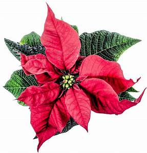 Christmas Poinsettia Flower PNG Transparent Image - PngPix