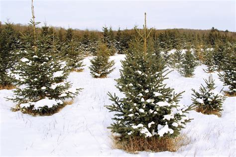 hubbards christmas tree farm 10 farms to cut your own tree near toronto