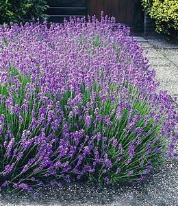 Lavendel Pflanzen Balkon : die besten 25 lavendel pflanzen ideen auf pinterest ~ Lizthompson.info Haus und Dekorationen