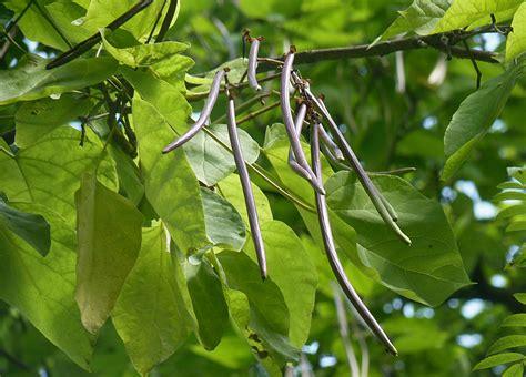 File:Catalpa bignonioides fruits J1.jpg - Wikimedia Commons