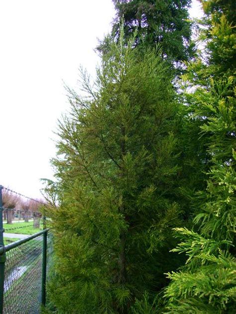 cryptomeria japonica gracilis cupressus phyllocladus