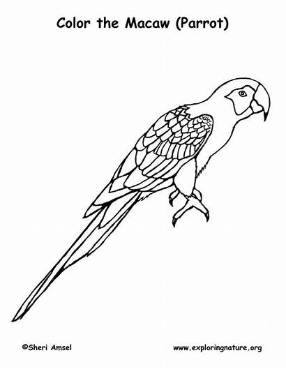 Macaw Coloring Parrot Scarlet Drawing Macaws Drawings