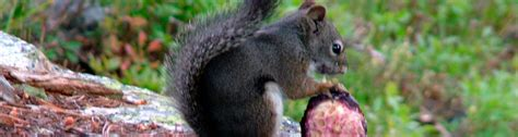 q i am having a terrible time with the squirrels eating