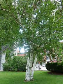 common front yard trees paper white birch tree on the nh state house lawn flickr photo sharing