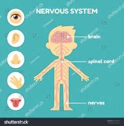 Nervous System Diagram for Kids