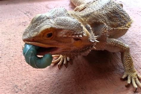 Contact us contact form and detail email: Bearded Dragon Wallpaper ·① WallpaperTag