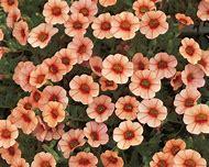 Peach Annual Flowers