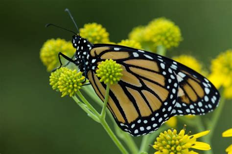picture macro yellowish big monarch butterfly flower
