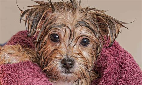 How Often To Shower Puppy by Puppy Bath Time When And How To Bathe A Puppy