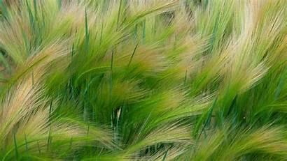Grain Barley Plants